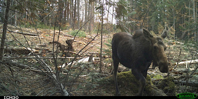 Of Mice and Moose: Impacts of Forest Harvest Practices on Mammal Communities